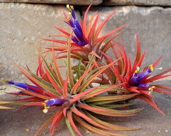 Air plant Iona 3 for 1
