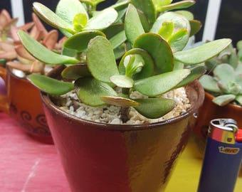 Live Jade succulents in cute pot