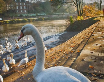 It's a Swan's Life Cathedral River Walk Worcester