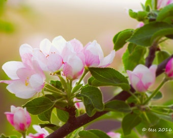 Apple Blossom Photography - Spring Blossoms Photo - Apple Blossom Print Mothers Day