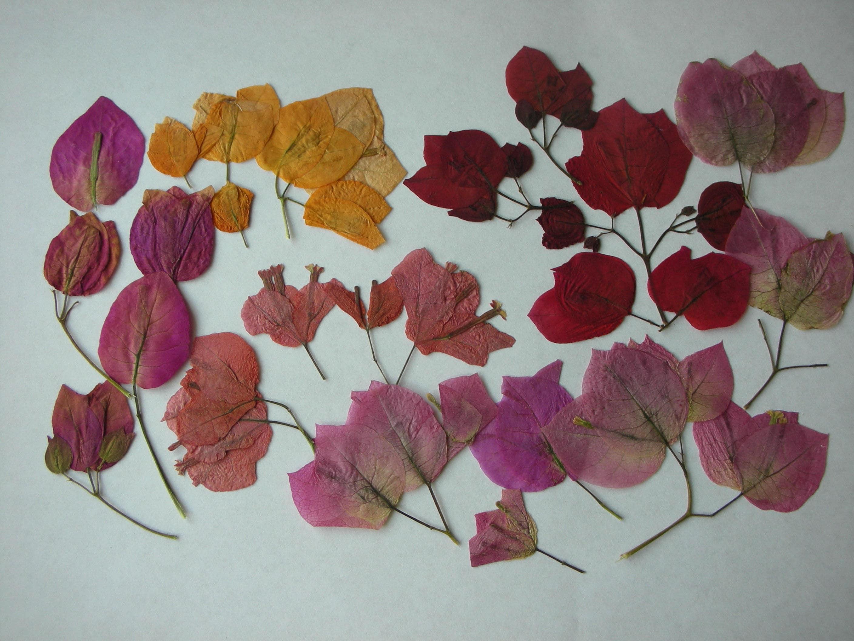 Pressed Flowers Bougainvillea Tropical Dried Flowers Leaves