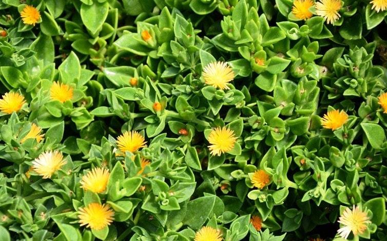 Yellow sun rose sun jewel aptenia cordifolia haekeliana zoom mightylinksfo