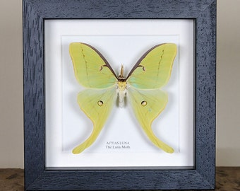 The Luna Moth in Black or White Box Frame (Actias luna) Real Mounted Moth