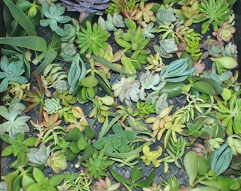 20 BEAUTIFUL succulent CUTTINGS perfect for wall gardens wreath topiaries or bouquets Succulents echeverias succulent