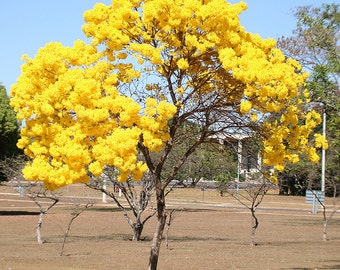 Tabebuia Chrysotricha 15/100/500 Seeds, Golden Trumpet Flowering Tree, Garden Landscape Ornamental