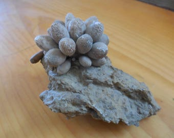 Fossil sea urchin [echinoid] with spines