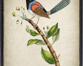 Vintage Bird Print, Fairywren Illustration, Printable Wall Art Instant Download Digital Print