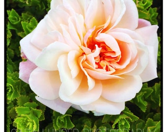 Rose - photo