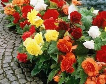 30+ Begonia Mix / Shade Loving Flower Seeds