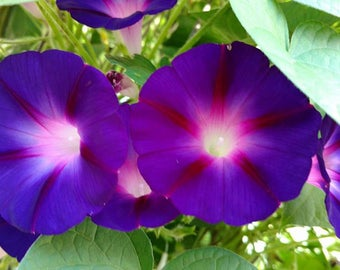 Morning Glories / Morning Glory Vine / 20 Seeds