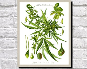 Cannabis Sativa Drawing, Cannabis Plant Print, Antique Botanical Print, Vintage Plant illustration, Weed Wall Art, Hemp Illustration 0493