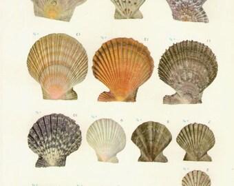 Vintage Sea Shells Print 50, antique lithograph