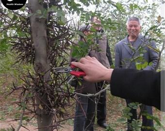 Buy Gleditsia Tree Seeds Plant Gleditsia Sinensis Tree For Honeylocust