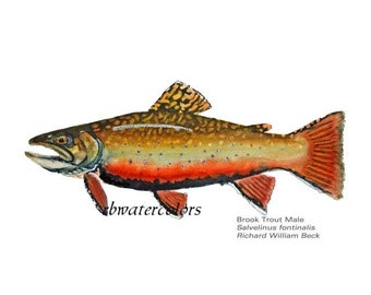 Male Brook Trout Fish Spawning PRINT 8 x 10 father's day gift under 20 gifts under 15
