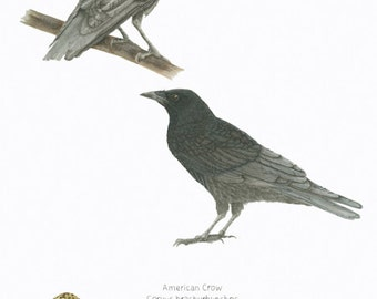 AMERICAN CROW/ BIRD and Eggs Illustration/ Natural Science Archival Giclee/Ornithology/Black,Blue