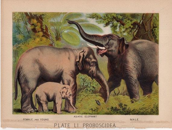 1880 antike Elefanten Lithographie original Druck wildes