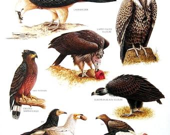 Vintage Bird Print - Lammergeier, Crested Serpent Eagle, Egyptian Vulture, Ruppell's Griffon, Black Vulture- 1990 Vintage Book Page - 11 x 9