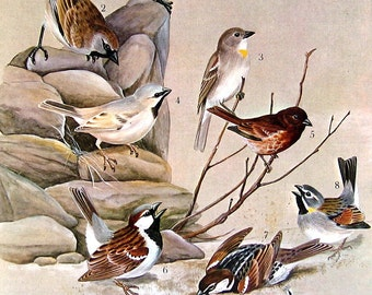 Bird Print - Sparrows - 1968 Vintage Print - from Encyclopedia
