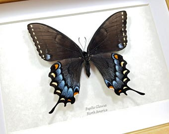 FREE SHIPPING Framed Papilio Glaucus (Black Form) The Eastern Tiger Swallowtail Taxidermy  A1 #04