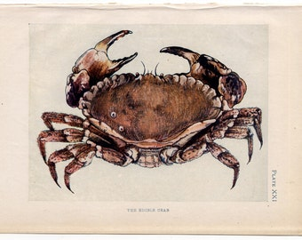 C. 1907 ANTIQUE CRAB LITHOGRAPH - original antique print - sea life marine beach ocean - edible crab & fiddler and green crabs
