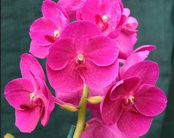 Orchid - Vanda Bangsai Queen Manuvadee Udom Purple Black ….. Stock #331