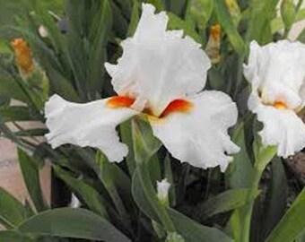 Iris, white iris , perennial iris bulbs