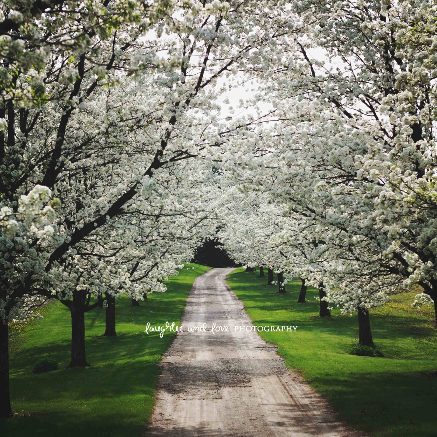 Spring Driveway Photo White Dogwood Trees Photography Floral