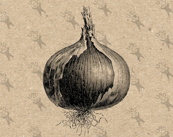 Vintage Image Onion Vegetable Instant Download Digital printable clipart graphic Transfer On Paper Burlap Fabric Towels Pillow Tote  300dpi
