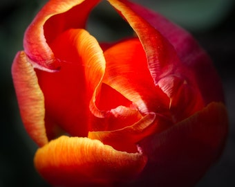 Tulip Fire Macro Flower Nature Single Red, Wall Art Wall Décor, Fine Art, Home Décor