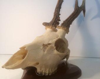 Taxidermy Skull&thorns