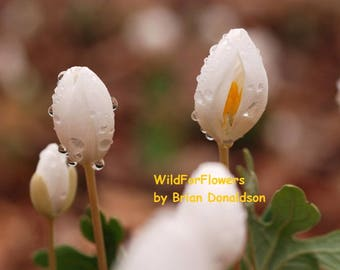 White, Yellow Bloodroot Flowers Art Photography Wildflowers