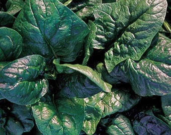 America Spinach Heirloom Garden Seed Non-GMO 100+ Seeds Naturally Grown Open Pollinated Gardening