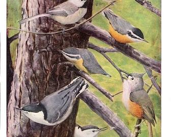 Vintage Bird Print by Louis Agassiz Fuertes