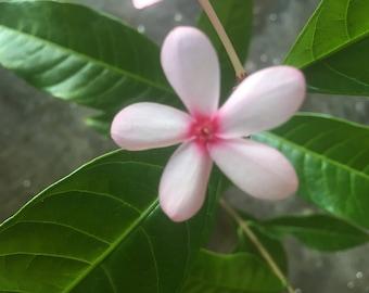 Kopsia Fruticosa - 1 Galllon Pot