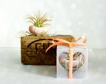 Set of 50  sea urchin air plants favors beach wedding favors  -beach party-shower-engagement- destination wedding