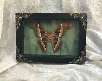 Small Atlas Moth
