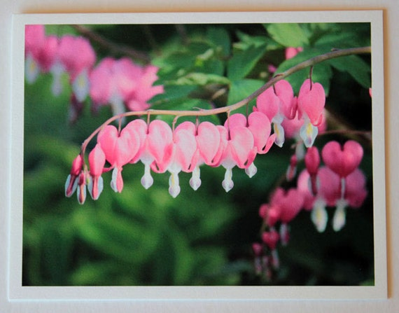 Bleeding Hearts, flowers, note card, blank greeting card, flower photo, pink, green, color, single card, photo greeting card, garden, nature
