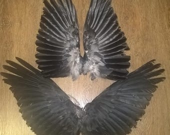 Raven wings one pair.  Natural taxidermy Hugin and Munin 八咫烏 yatagarasu