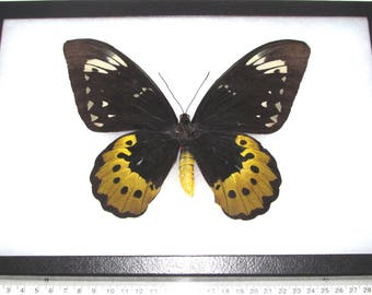 REAL framed butterfly Ornithoptera goliath supremus birdwing female Papua New Guinea Indonesia