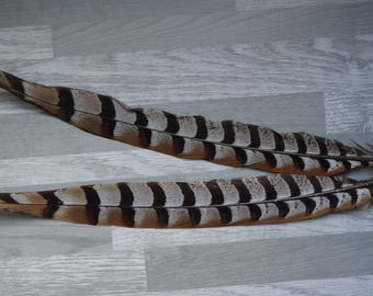 Rare 2 pheasant feathers revered natural