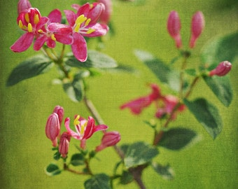 Pink Honeysuckle - Floral Nature Photograph - 8x10 - honeysuckle pink spring cottage chic green yellow flower textured home decor