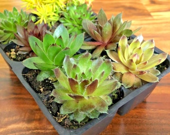 """8 Hardy Succulent Variety Pack 