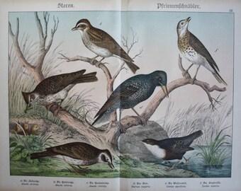 antique print starling Sturnus vulgaris 1886