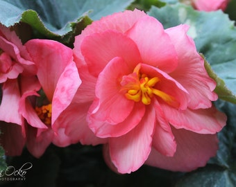 Pink Flower Closeup Photography Print