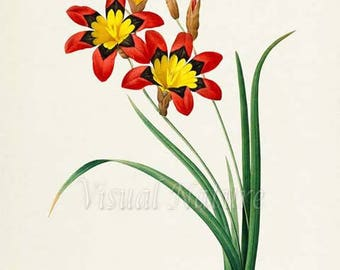 Harlequin Flower Art Print, Wandflower Botanical Art Print, Sparaxis Flower Wall Art, Flower Print, Redoute Art, red yellow, Ixia tricolor