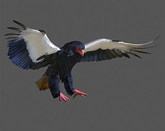 Bateleur Eagle Postcard 130lb Card Stock