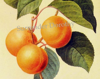 Sweet Apricots Prunus Armeniaca  Redoute Vintage Fruit Botanical Lithograph Poster Print To Frame 137
