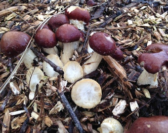Garden Giant Kit: Wine Cap - Stropharia rugoso-anulata
