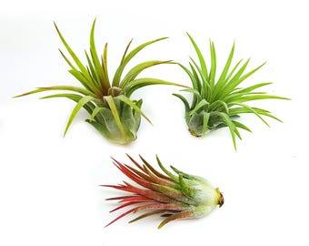 3pc Air Plants Tillandsia 'Ionantha' Assorted / Terrarium Plants, Houseplants