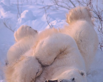 "Title: ""Rolling Out of Bed !""  Arctic wildlife,  polar bear in snow, bear photo, nature photo, cute animal photo"